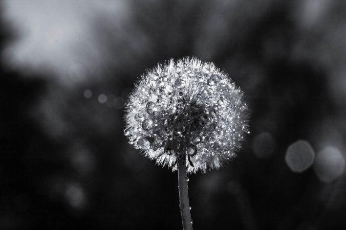 the-dandelion